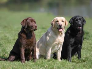 The Labrador dog breed